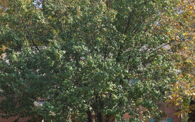 Bradford Pear Topping