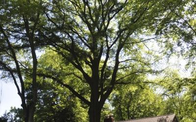 Large Oak Thinning