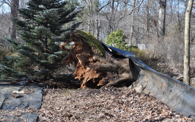 Large Uprooted Stump Grinding