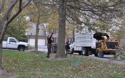 Oak Removal by Driveway, Laurel MD