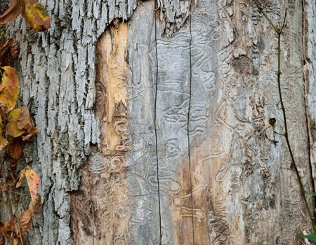 emerald ash borer infestation