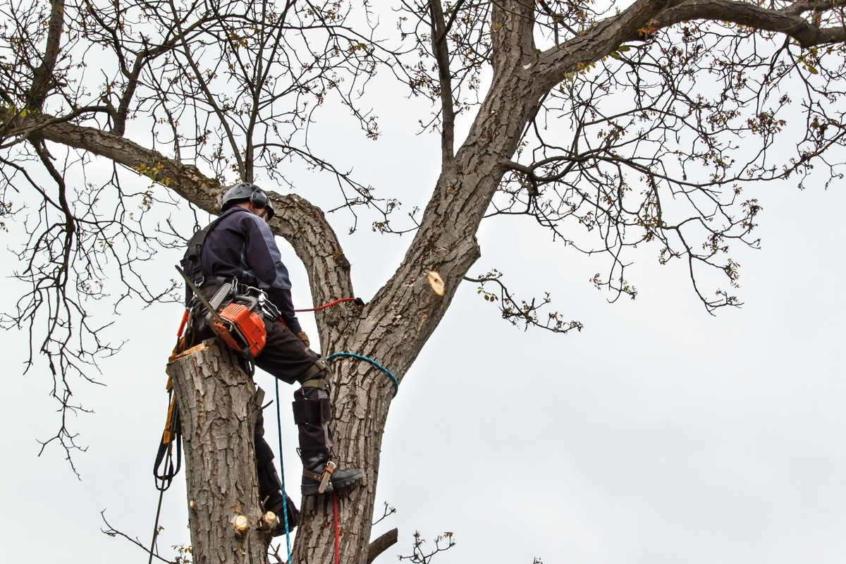 Emergency Tree Removal Chevy Chase