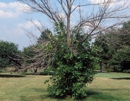Emerald Ash Borer Infestation