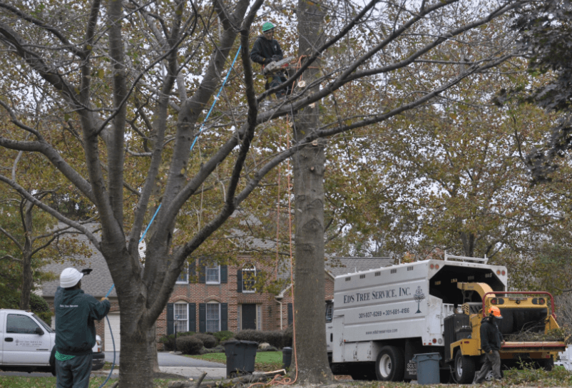 Professional Tree Pruning with Ed's Tree Service