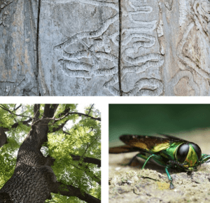 Infected Ash Tree Removal Company