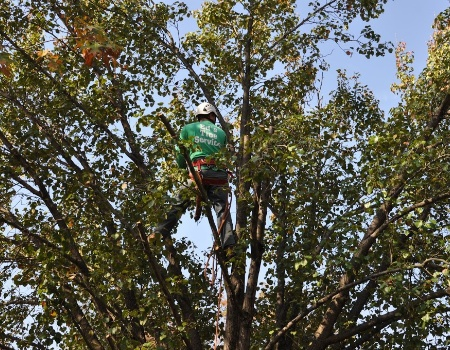Gaithersburg, Maryland Tree Pruning