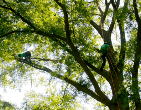 Silver Spring, MD Tree Trimming