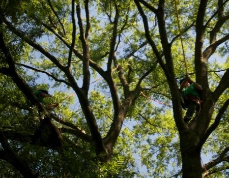 Adelphi Tree Trimming