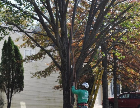 Kensington Tree Trimming