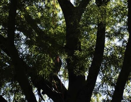 Gaithersburg Tree Trimming