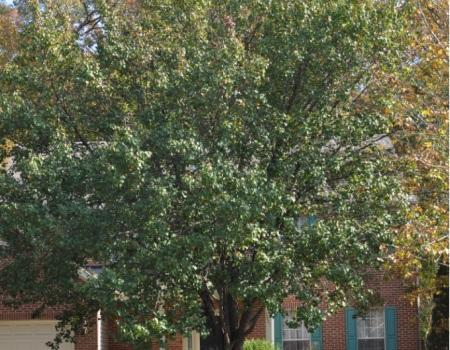 Maryland Tree Pruning
