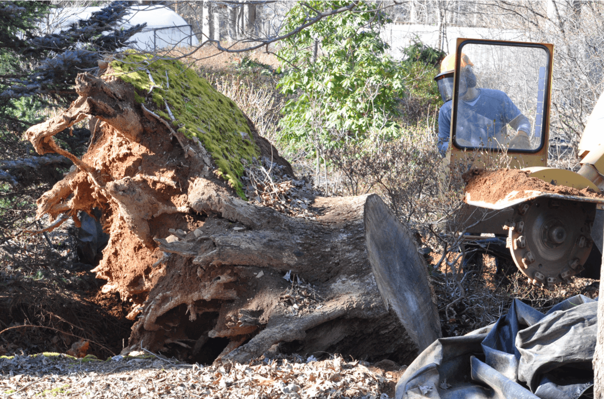 Tree Removal in Chevy Chase